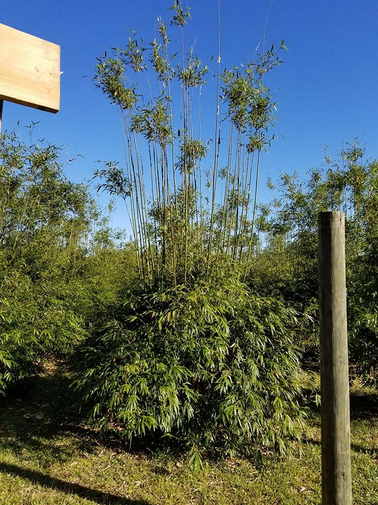 Bamboo Company Nursery, LLC | Largest wholesale/retail